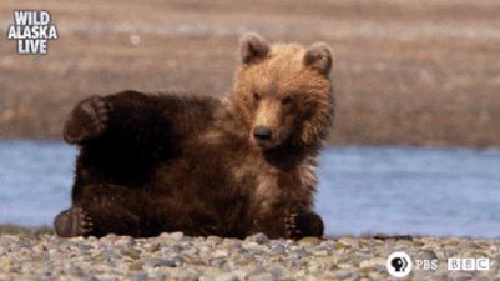 Анимация Медвежонок смешно кувыркается около речушки в Аляске (Wild Alaska live)