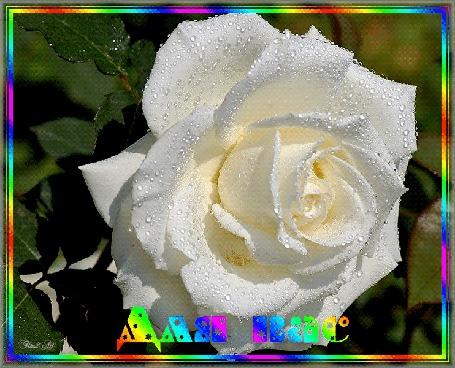 Анимация Белая роза в каплях воды (Для вас), by Tim2ati