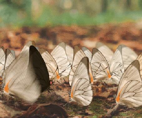 Анимация Порхающие бабочки, by maskman626