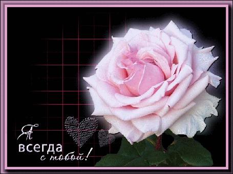 Анимация Розовая роза на темном фоне (Я всегда с тобой), by Tim2ati