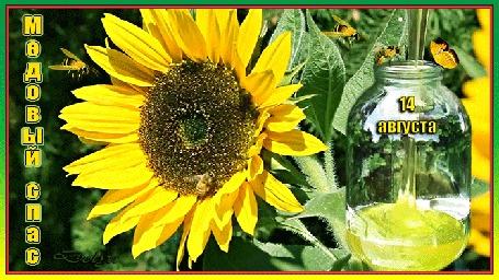 Анимация Среди подсолнухов в банку льется мед (14 августа - медовый спас)