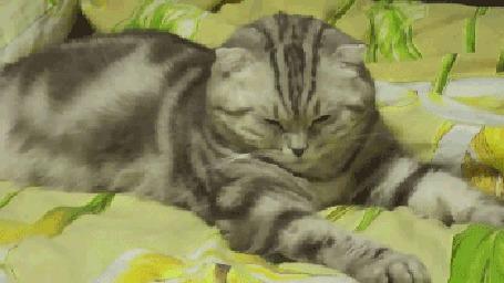 Анимация Сонная серая полосатая кошка утыкается носом в одеяло