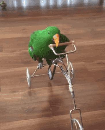 Анимация Попугай катается на мини-велосипеде