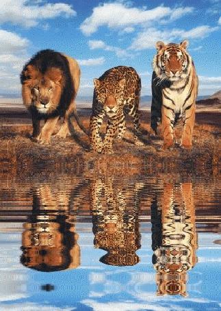 Анимация Лев, леопард и тигр у водопоя