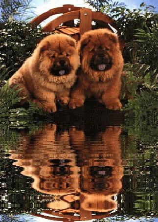 Анимация Два щенка чау-чау сидят у воды