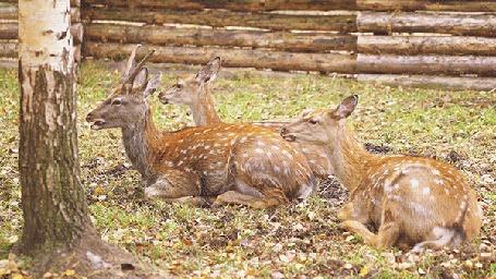 Анимация Три олененка, лежа около березы у забора, жуют травку, by Daria Khoroshavina