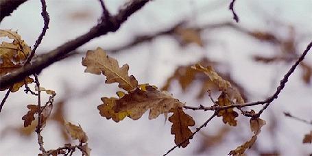 Анимация Осенние дубовые листочки колышутся на ветру
