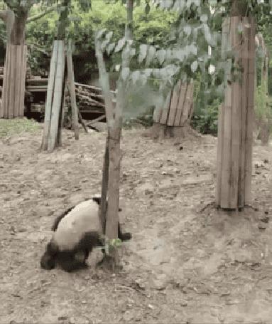 Анимация Две панды так игрались что не заметили как с дерева третья упала