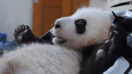 Анимация Маленькую панду гладят, by BBC Earth