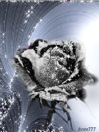 Анимация Нежная черная роза в инее (brus777)