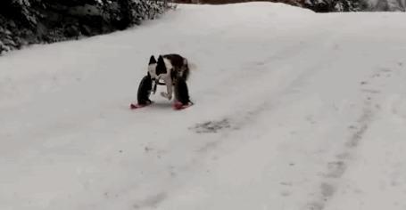 Анимация Собака спускается с горки на лыжах, поставленных на колесах