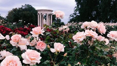 Анимация Цветущие розовые розы у библиотеки Huntington, Los Angeles / Хантингтона, Лос-Анджелес