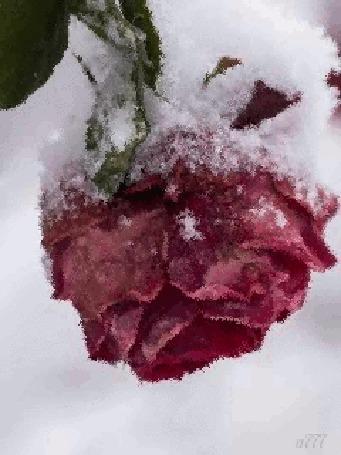 Анимация Чайная роза в снегу