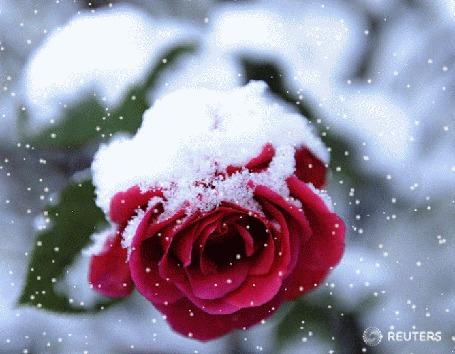 Анимация Красная роза под снегом, by REUTERS