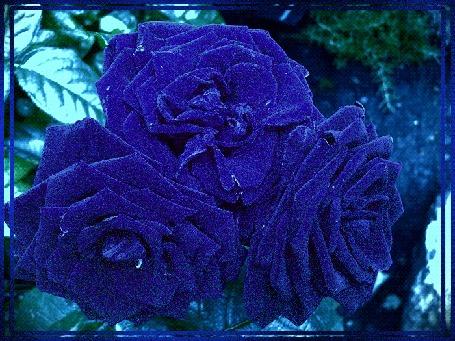 Анимация Синие розы среди листьев
