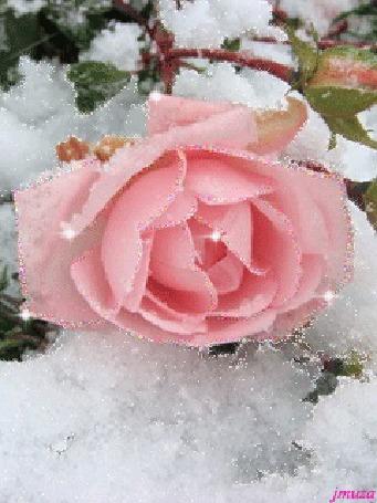 Анимация Розовая роза в снегу