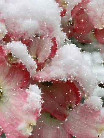 Анимация Розовые цветы в снегу