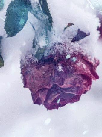Анимация Бордовая роза в кружащем снегу
