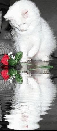 Анимация Милый котенок cидит перед розой и отражается в воде