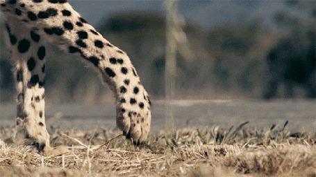 Анимация Состязание гепарда и гоночного авто