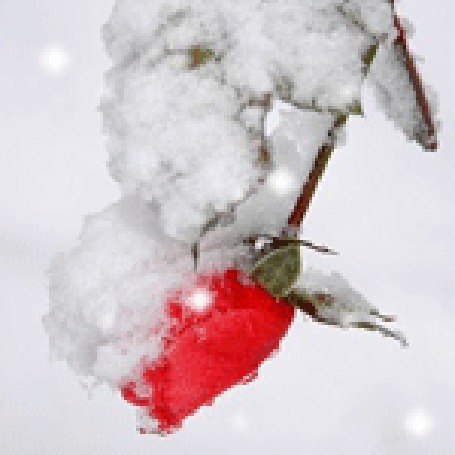 Анимация Красная роза под падающим снегом