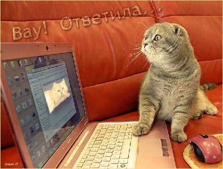 Анимация Серый кот сидит на диване и смотрит в ноутбук на фото кошечки (Вау! Ответила. ), by Ольга П