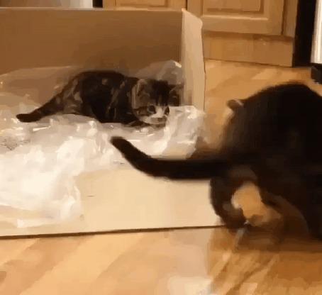 Анимация Кошки как - то лениво нападают друг на друга у картонной коробки
