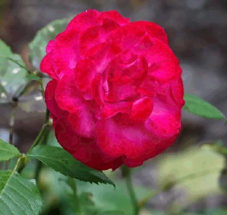 Анимация Красная роза колышется от ветра