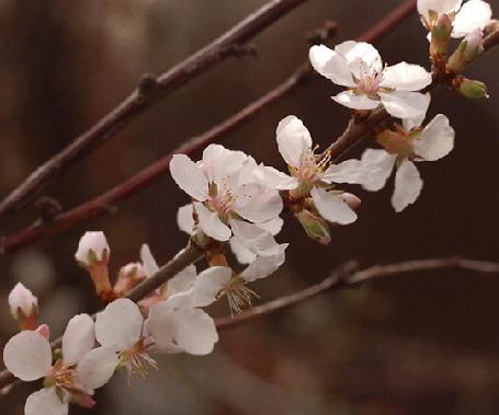Анимация Весенняя цветущая ветка