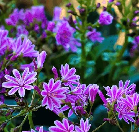 Анимация Сиреневые цветы колышутся от ветра