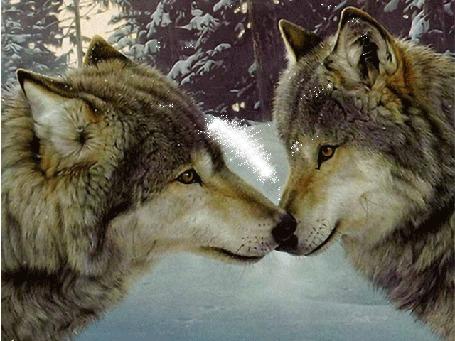 Анимация Волчья пара стоит носами друг к другу