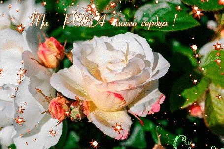 Анимация Нежная белая роза с бутонами, (Ты роза моего сердца!), автор Chloe