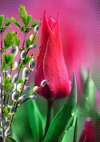 Анимация Малиновый тюльпан и ветка вербы с листьями в каплях воды