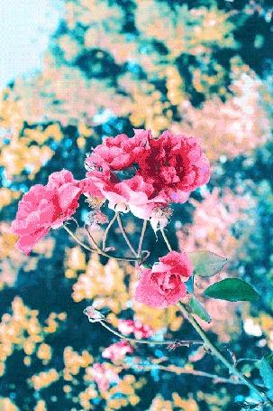Анимация Розовые розы колышутся