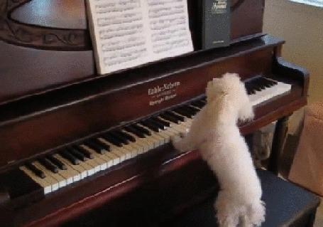 Анимация Белый пудель играет на пианино, после чего танцует