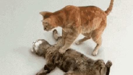 Анимация Одна кошка делает непрямой массаж сердца другой кошке