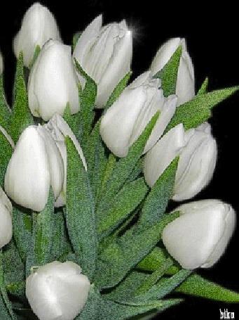Анимация Белые тюльпаны на темном фоне, by bico