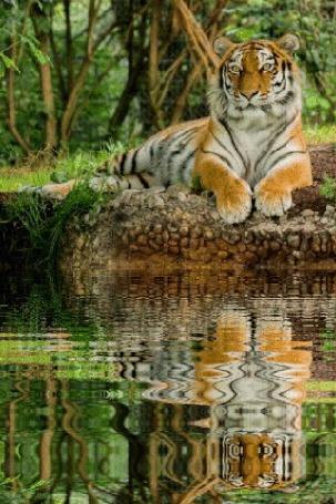 Анимация Тигр лежит на берегу в отражение воды