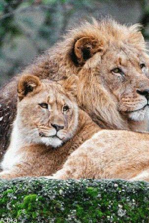 Анимация Лев и львица лежат на земле, by Acbka