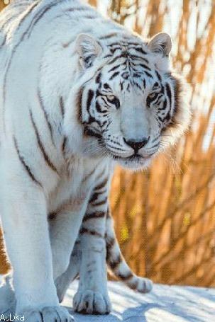 Анимация Белый тигр стоит на снегу, by Acbka