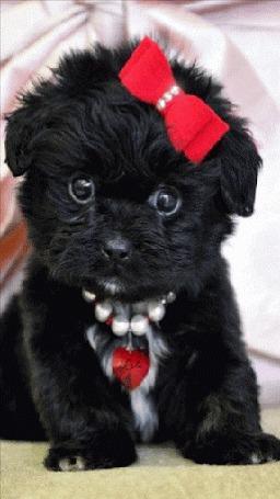 Анимация Черный щенок с красным бантом, by Lola