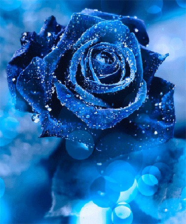 Анимация Голубая роза на фоне боке