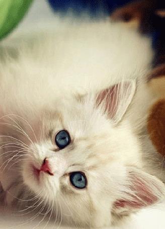Анимация Белый котенок с голубыми глазами