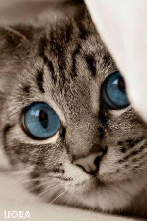 Анимация Серая кошка с голубыми глазами, by LIORA