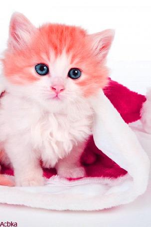 Анимация Бело-рыжий котенок сидит на новогодней шапочке, by Acbka