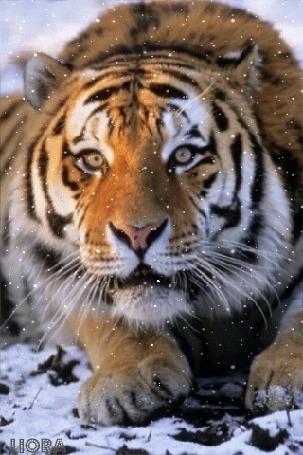 Анимация Тигр лежит на снегу, by LIORA