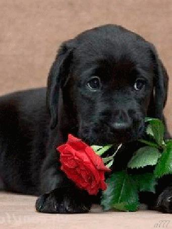 Анимация Черный щенок с розой, by A777