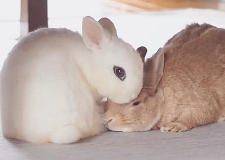 Анимация Белый кролик облизывает серого кролика