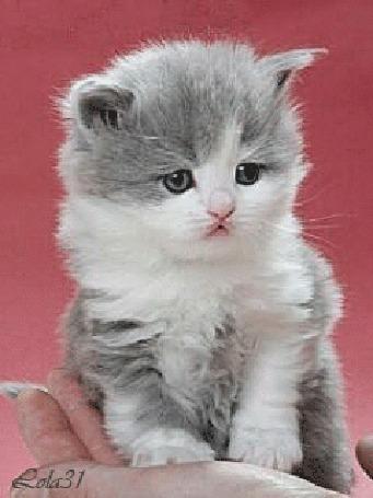 Анимация Серо-белый котенок на розовом фоне, by Rola31