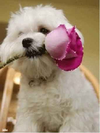 Анимация Белая собака с розой в зубах